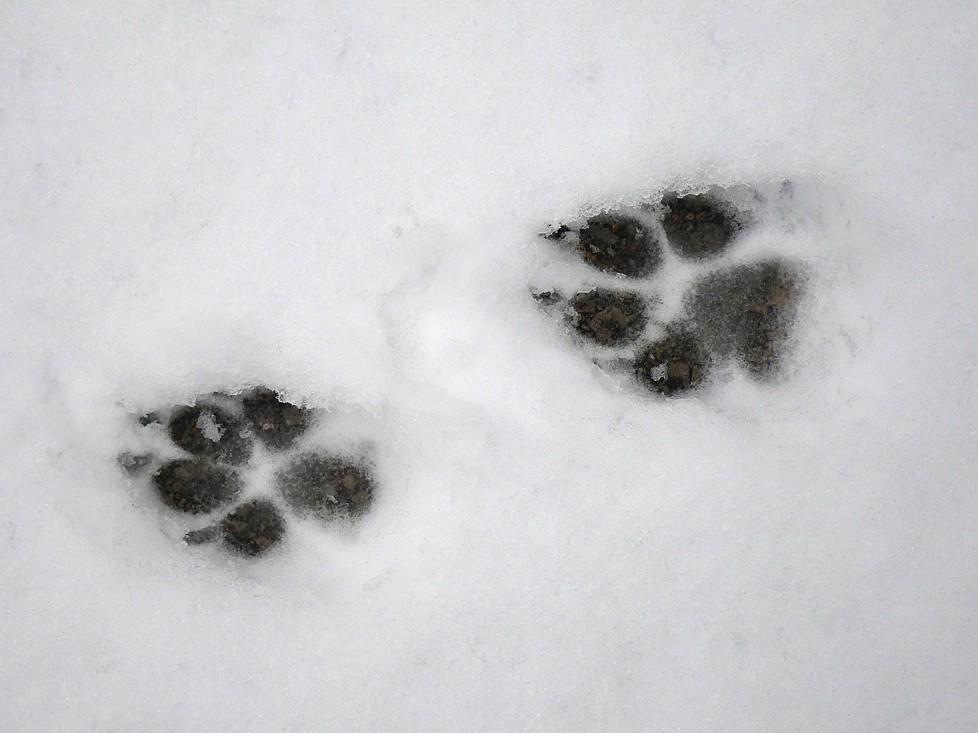 091229 � gray fox print a crosstimber naturalist