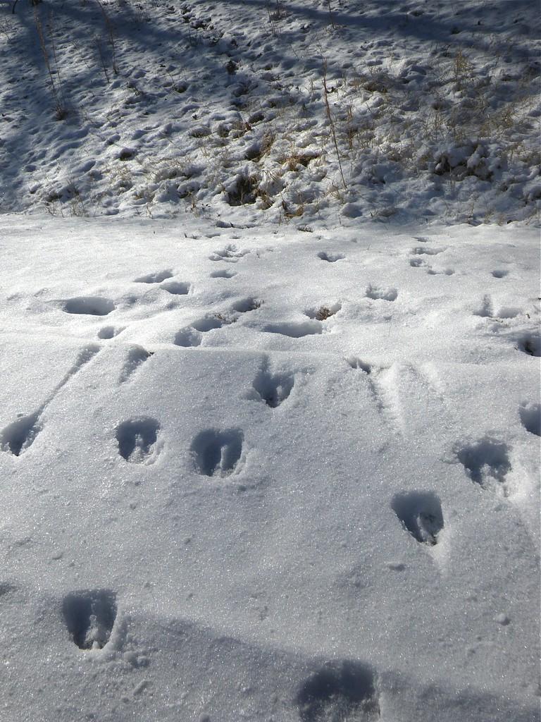 Deer Tracks Snow