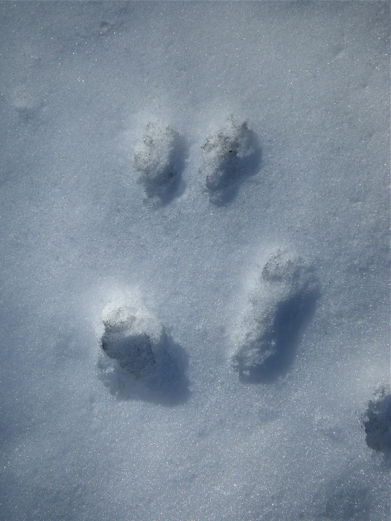 Who Goes There Reading Animal Tracks In Snow A
