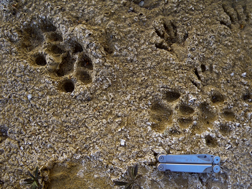 Animal Tracks  Black Bear Ursus americanus