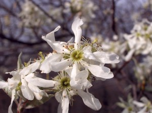 Flowers of the Downy Serviceberry, Amelanchier arborea