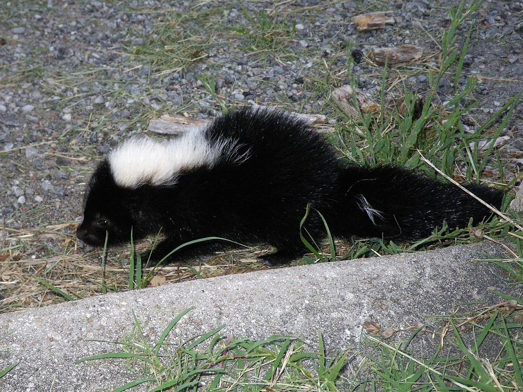 WSS – Baby Skunk | A Crosstimber Naturalist
