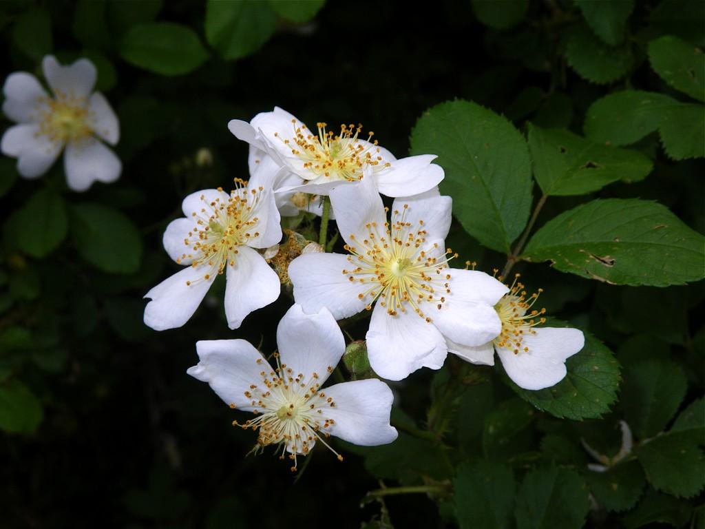 mpnc wild rose rosa spp a crosstimber naturalist. Black Bedroom Furniture Sets. Home Design Ideas