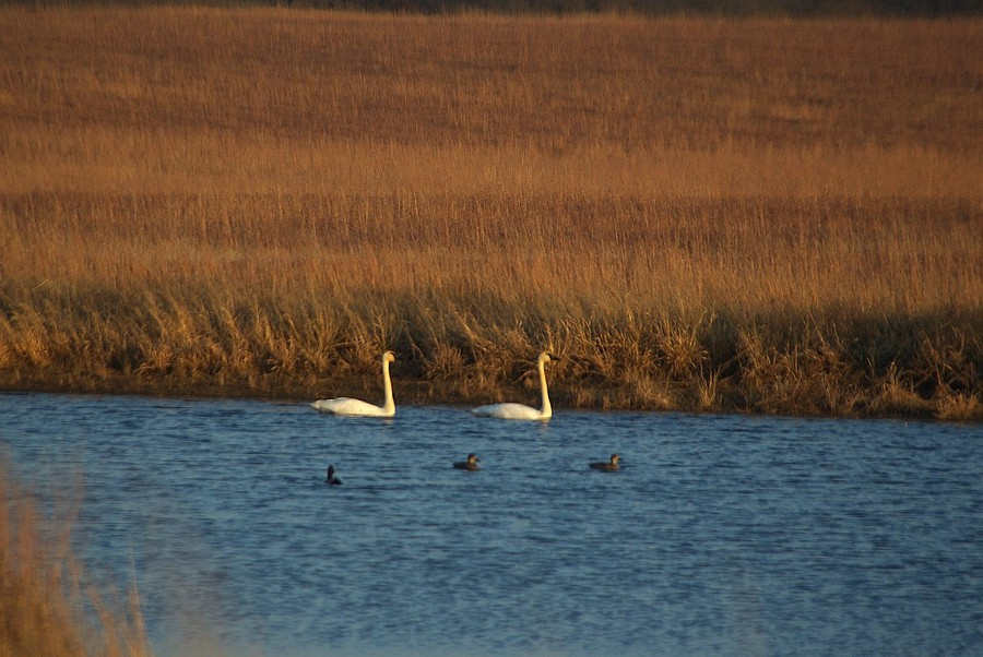 Swans on Farm Pond in NE Oklahoma