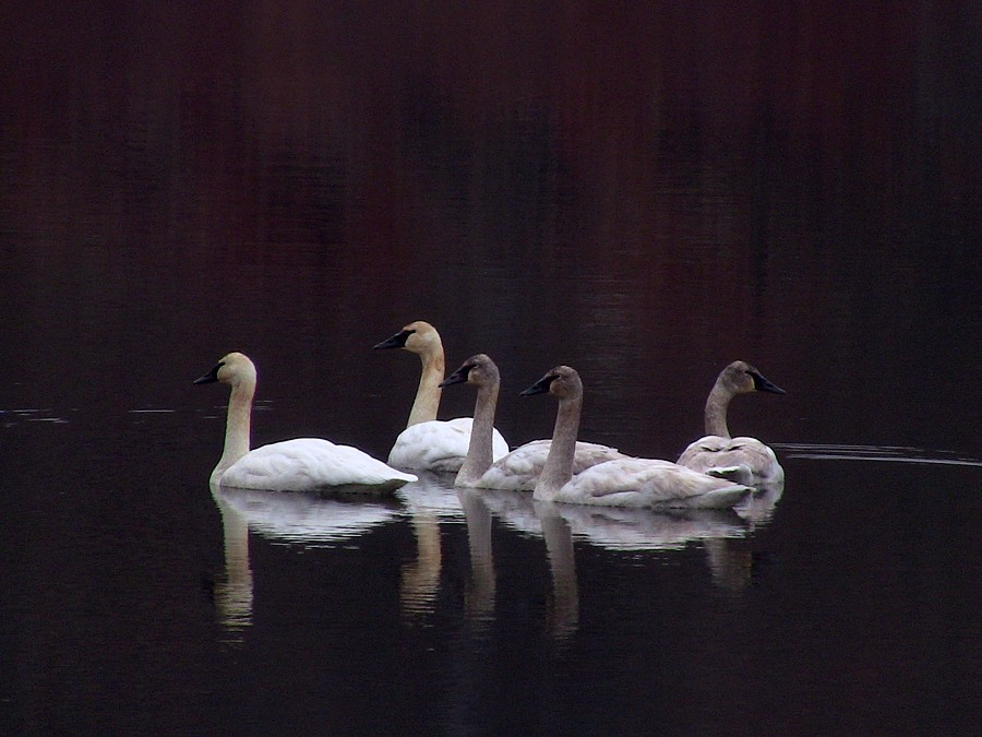 2 Adult & 3 Juvenile trumpeter swans on Lookout Lake