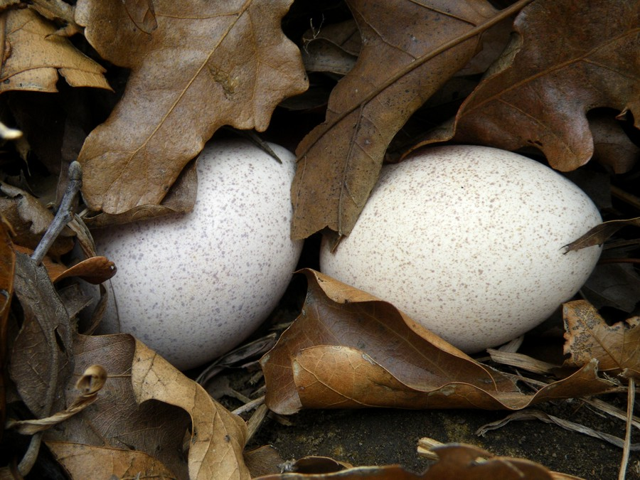 20130402 - Wild Turkey Eggs