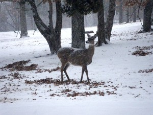 A deer in the snow pauses to watch me pass.