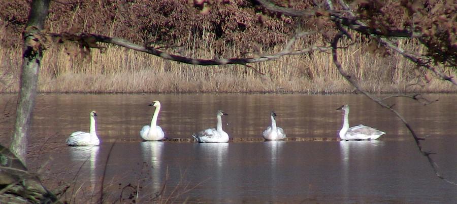 20140112 Trumpeter Swan Line